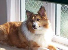 welsh sheepdog photo | ... profile for Sebastian, a male Shetland Sheepdog/Cardigan Welsh Corgi Welsh Sheepdog, Shetland Sheepdog, Cardigan Welsh Corgi, Sheltie, Dog Behavior, Dog Breeds, Dog Lovers, Profile, Dogs