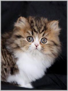 Shaded Golden & White Bi-Color Teacup Persian Kitten