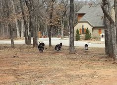 So, while showing a home in Edmond to my buyers, this huge (20 plus) flock of turkeys just saunters through the property like they owned it, with no regard to the humans.  My buyers were flabbergasted, and delighted!   Photos - Google+