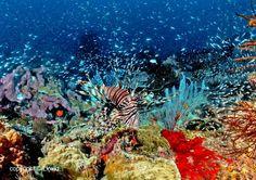 The lion fish swimming majestically in the deep blue, like a BOSS! ;) (www.facebook.com/sipadanresort)