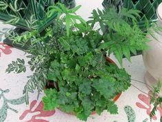 Dentro de estas interesantes y decorativas plantas nos encontramos con una enorme cantidad de especies y variedades muy adecuadas para cul...