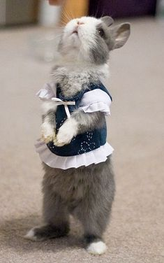 I dont approve of dressing animals in clothes. So uncomfortable! But oh my, this bunny is addorable
