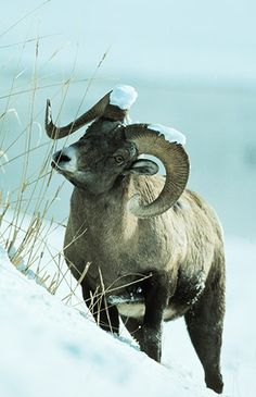 Big Horn Ram in Snows Yellowstone N.P., WY. Darrel Gulin Photography