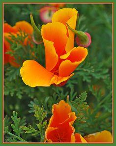 California poppies at Big Sur California Poppy Tattoo, California Dreamin', Flower Tat, Poppies Tattoo, Garden Art, Garden Ideas, Cut Flowers, Amazing Flowers, Botanical Prints