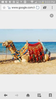 Camel by the beach with decorative saddle