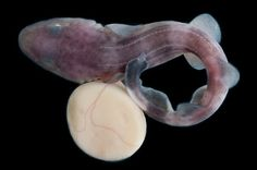 Poroderma pantherinum and its Yolk sac African, Pictures, Photography, Animals, Image, Photos, Photograph, Animales, Animaux
