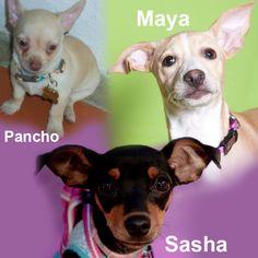 Maya, Sasha y Panchito