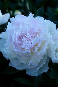 "Peony ""Raspberry Sundea"" | Flickr - Photo Sharing!"