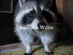 Pet raccoon - YouTube