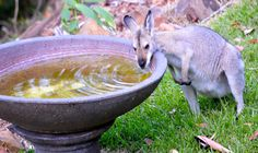Wallaby - In Queenslands dry months, the Wallabies rely on the bird bath to satisfy their thirst. In fact my bird bath is a busy stop for all manner of wildlife. Whole Food Recipes, Easy Meals, Wildlife, Backyard, Bath, Yard, Bathing, Backyards, One Pot Dinners