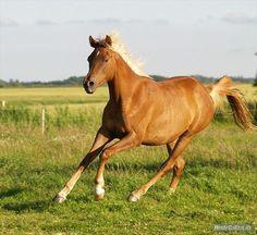 Arabian Horse Zakiyah El Azraff 2009