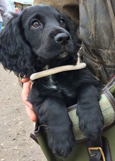 Image result for black working cocker spaniel