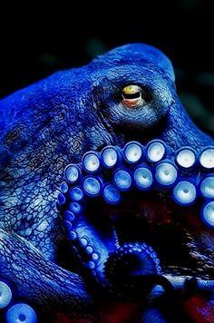 / I'm blue by Klaus Wiese - octopus Underwater Creatures, Underwater Life, Underwater Pictures, Beautiful Creatures, Animals Beautiful, He's Beautiful, Animal Original, Im Blue, Deep Blue