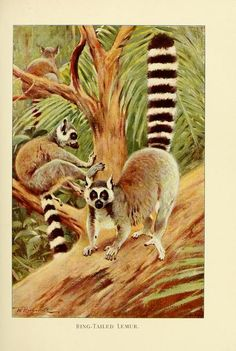 Ring-Tailed Lemur. Wild life of the world v.3 London ;F. Warne and co.,1916. Biodiversitylibrary. Biodivlibrary. BHL. Biodiversity Heritage Library