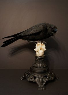 """madamecuratrix: """" Fantastic taxidermy raven perched on monkey skull by Grimm Relics on Etsy. """""""