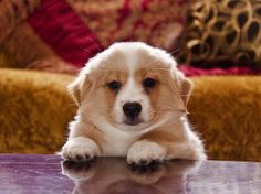 This is the dumpiest cutest fluffy corgi i've ever seen XD it's own body is a scarf!
