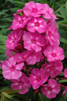 Bubble Gum Pink-Clusters of deliciously scented flowers begin to bloom in early summer filling the garden with a sweet fragrance until fall. Available in 4 candy coated colors, the Candy Store™ series