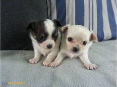 Chiots femelles chihuahua poil long - http://www.go-occasion.fr/chiots-femelles-chihuahua-poil-long/