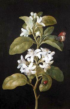 Pear Flower. Barbara Regina Dietzsch - Date unknown (German, 1706 - 1783) | Flickr - Photo Sharing!