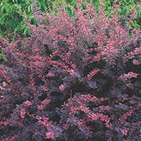 """Japanese Barberry """"Rose Glow"""": 5-6' HW, Deciduous. Barberry of any sort should be used in areas that a 'pokey, prickly plant' is useful- like keeping animals away from a favorite snack plant or people from areas they shouldn't be either...beautiful contrast to most other plants."""