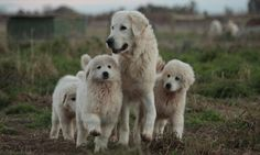 Maremma dogs are considered ideal for conservation work because they can bond to an array of other creatures while also viewing feral pests as mortal enemies.