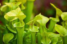 die besten 25 schlauchpflanze ideen auf pinterest fleischfressende pflanzen. Black Bedroom Furniture Sets. Home Design Ideas