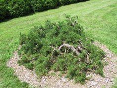 Pinus banksiana Sporky :: Квітковий сад Ірини Ковальчук