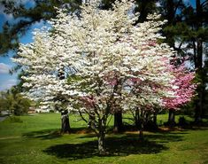 Cherokee Princess Dogwood Tree The gold standard of white dogwoods. Landscape Trees, Crabapple Tree, Plants, Landscape Design, Dogwood Tree Landscaping, Dogwood Trees, Blossom Garden, Deciduous Trees, Landscape