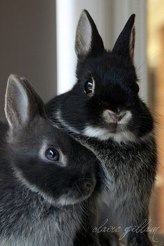 My favorite- Netherland dwarf bunny Cute Baby Bunnies, Funny Bunnies, Cute Baby Animals, Animals And Pets, Funny Animals, Beautiful Creatures, Animals Beautiful, House Rabbit, Guinea Pigs