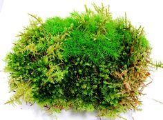 Live moss, sheet of mixed moss, 1 gallon bag for a terrarium, vivarium, miniature gardens or craft