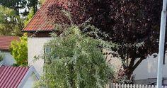 För det första - gör inte för små rabatter. Bättre med några färre och större rabatter, än att dutta med några små rabatter här och där, sa... Gardening, House Styles, Plants, Home Decor, Pear, Decoration Home, Room Decor, Lawn And Garden, Plant