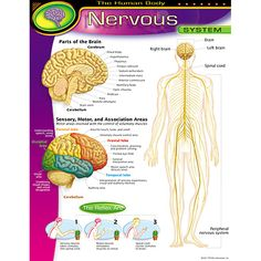 Illustrates and labels the human body nervous system. Two inset drawings provide technical terms for parts of the brain and show which human activities are controlled by each part. Back of chart featu