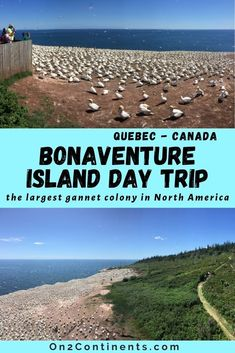All you need to know about visiting Bonaventure Island in Quebec and the largest Atlantic sea birds colony in North America. #bonaventureisland #birdwatching #gannetcolony #gaspesie #gaspepeninsula #perceqc #northerngannets #on2continents #travelblog #canada #quebec #daytrip #roadtrip #familytravel Best Places To Travel, Places To See, Travel Couple, Family Travel, Canadian Travel, Visit Canada, Walkabout, Young Female, Birdwatching