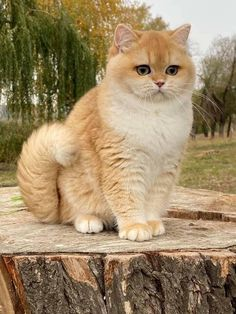 Cute Baby Cats, Cute Kitten Gif, Kittens Cutest, Cats And Kittens, Beautiful Cats, Animals Beautiful, Animals And Pets, Cute Animals, British Shorthair
