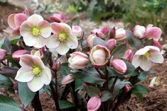 Pink Frost Lenten Rose for sale buy Helleborus x ballardiae 'HGC Pink Frost' 3 QT Annual Flowers For Shade, Shade Flowers Perennial, Shade Annuals, Shade Shrubs, Flowers Perennials, Shade Plants, Planting Flowers, Flower Gardening, Fruit Garden