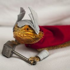 Well, Bearded Dragons are Australian and have great facial hair just like Chris Hemsworth!