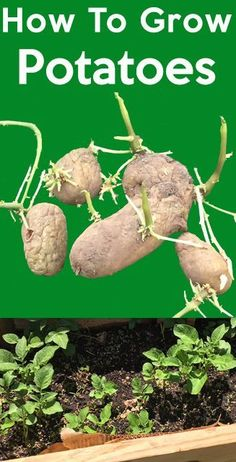 Organic Gardening How to grow potatoes, Grow Potatoes with these simple steps and enjoy fresh organic and very tasteful Potatoes. Get some tips and tricks that will help you save money. Organic Vegetables, Growing Vegetables, Garden Guide, Garden Tools, Herbs Garden, Garden Projects, Greenhouse Growing, Greenhouse Ideas, Vintage Garden Decor