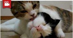 Vampire Cat >.<  Watch here: http://meowaum.com/2281-vampire-cat/