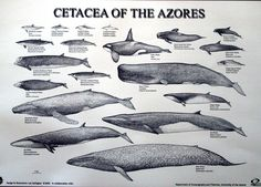 Cetacea | Killer Whales Adaptations