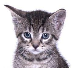 Chicago, IL - Domestic Shorthair. Meet Squirt, a kitten for adoption. http://www.adoptapet.com/pet/16063949-chicago-illinois-kitten