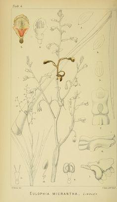 Eulophia_micrantha_-_Harry_Bolus_-_Orchids_of_South_Africa_-_volume_I_tab._4_(1896).jpg (2153×3730)