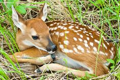 _MG_6177 - White-tailed deer fawn. ©Jerry Mercier   by jerry mercier