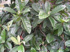 Desert To Jungle - Eriobotrya japonica