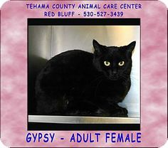 Red Bluff, CA - Domestic Shorthair. Meet GYPSY a Cat for Adoption.