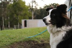 Acey the border collie