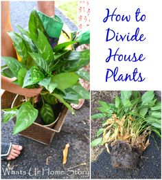 How to Divide House Plants - Whats Ur Home Story