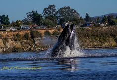 Capitola - whale capture by John Hunter Photography.  John has captured our area with flavor and flair.  Please visit his website to view and purchase his phenomenal coastal photographs!