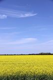 Beautiful Field of Manitoba Canola 3 Royalty Free Stock Photography