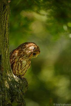 Tawny owl of Prey Beautiful Owl, Animals Beautiful, Cute Animals, Animals Images, Wild Animals, Funny Animals, Rapace Diurne, Strix Aluco, Tawny Owl