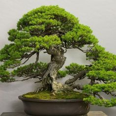 Wow, this is Bonsai at its most inspirational. Photo by The Omiya Bonsai Art Museum, Saitama. www.bonsaiempire.com #bonsai #nature